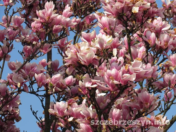 magnolia_2015_02